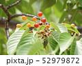 山桜の実 52979872