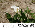 カラーの花 52980165
