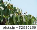 山桜の実 52980169