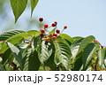 山桜の実 52980174