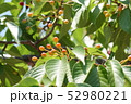 山桜の実 52980221