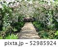 東武トレジャーガーデンのバラのアーチ。ポールズ・ヒマラヤン・ムスク・ランブラー(5月)群馬県館林市 52985924