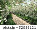 東武トレジャーガーデンのバラのアーチ。ポールズ・ヒマラヤン・ムスク・ランブラー(5月)群馬県館林市 52986121