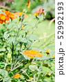オレンジ色のガーベラとつぼみのある花畑 52992193