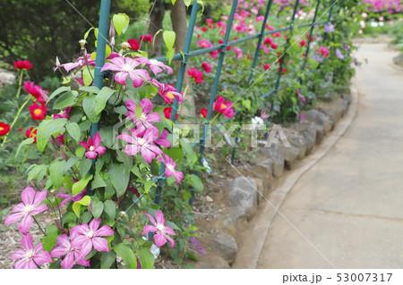 クレマチス(鉄仙)の花 53007317