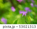 花 ラン シランの写真 53021313