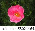 シャーレーポピー ポピー 花の写真 53021464