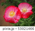 シャーレーポピー ポピー 花の写真 53021466