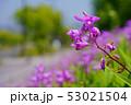 花 ラン シランの写真 53021504