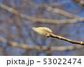 コブシの花芽 53022474