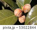 ツバキの花芽 53022844