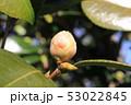 ツバキの花芽 53022845