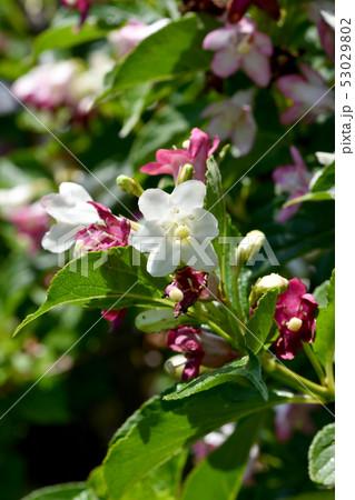 箱根うつぎの花 53029802