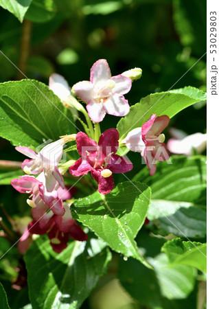 箱根うつぎの花 53029803