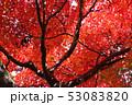 愛媛県大洲市稲荷山公園の紅葉 53083820
