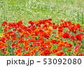 ポピー 花 植物の写真 53092080