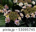 あじさい 紫陽花 花の写真 53095745