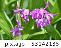 シラン ピンク 花の写真 53142135