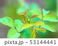 バラの蕾と葉 53144441