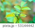 バラの蕾と葉 53144442