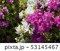 つつじの花 白色 桃色 53145467