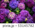 紫陽花 アジサイ あじさいの写真 53145782