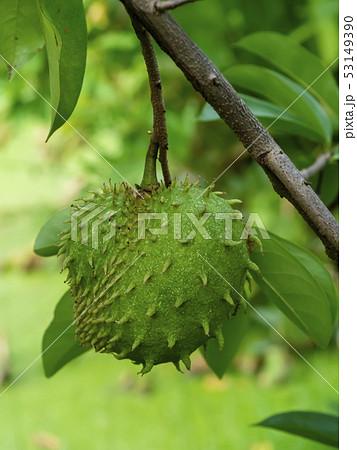 Close up Soursop, Prickly Custard Apple. 53149390