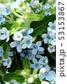 ブルースターの花束 53153867