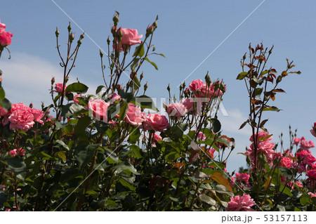 ピンクのバラ 53157113