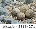 コチドリの卵 53164271
