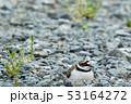 抱卵するコチドリ 53164272