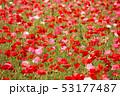 ポピー シャーレーポピー 雛芥子の写真 53177487