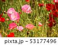 ポピー シャーレーポピー 雛芥子の写真 53177496