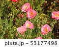 ポピー シャーレーポピー 雛芥子の写真 53177498