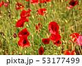 ポピー シャーレーポピー 雛芥子の写真 53177499