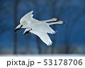 猪苗代湖の白鳥 53178706
