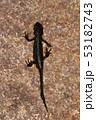 アカハライモリ、水辺の野生生物 53182743