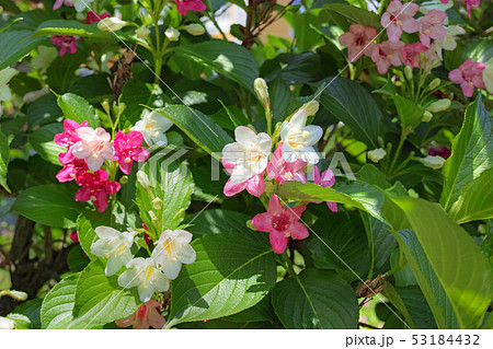 ハコネウツギの花 53184432