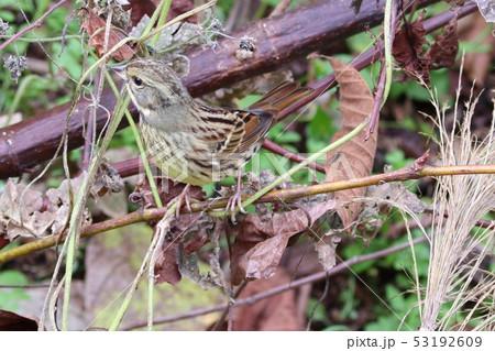 冬のアオジ 野鳥 カムフラージュ 53192609
