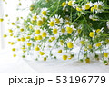カモミール ハーブ 花の写真 53196779