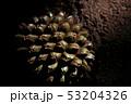 Fruit of Pandanus utilis 53204326
