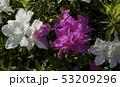 白色 赤紫色花 ツツジの花 53209296