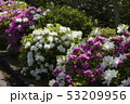 ツツジの花 咲くころ 53209956