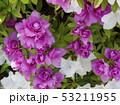 八重咲き 桃色花 53211955