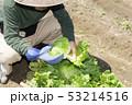 レタスの収穫 53214516