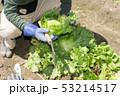 レタスの収穫 53214517