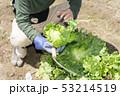 レタスの収穫 53214519