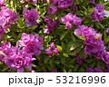 ツツジの花 八重咲き 53216996