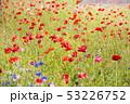 ポピー 花 花畑の写真 53226752