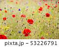 ポピー 花 花畑の写真 53226791